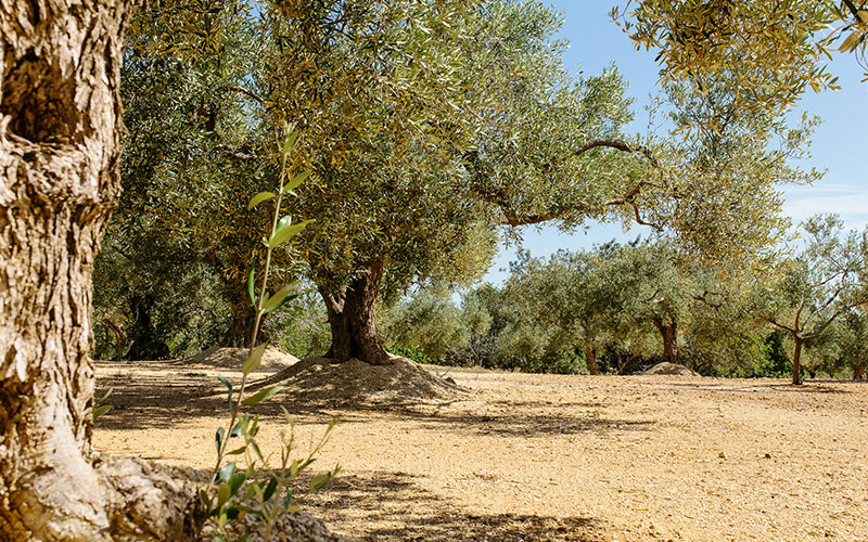 The olive gardens, natural route through the interior of l'Ampolla