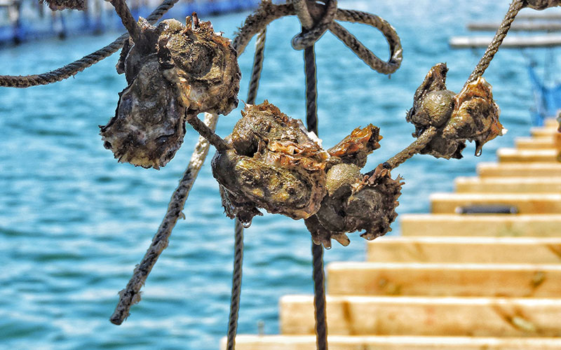 The oyster in l'Ampolla: gastronomic days